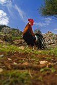 Free range rooster in a field — Stock Photo