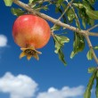 Pomegranate on branch - Stock Photo