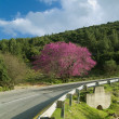 Cercis and  Road — Stock Photo