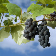 Stock Photo: Black grapes on vine