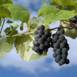 Black grapes on vine — Stock Photo #1341078