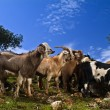 Goats in the pasture - Stock Photo
