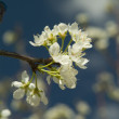 Cherry tree flowers — Stock Photo