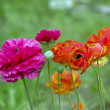 Buttercup flowers - Stock Photo