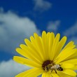 Bee on yellow flower — Stock Photo #1342284