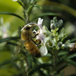 Bee on Rosemary flower — Stock Photo