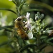 Bee on Rosemary flower - Stock Photo