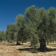 Ancient olive tree — Stock Photo