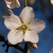 Almond Tree Flower — Stock Photo