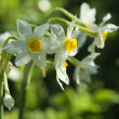 Stock Photo: Narcissus in selectiv focus