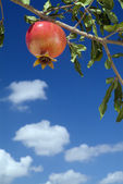 Pomegranate on branch — Stock Photo