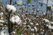 Cotton branch — Stock Photo