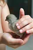 Chick in child hand — Stock Photo