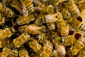 Bees inside beehive with the queen bee — Stock Photo