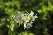 Narcissus in selectiv focus — Stock Photo