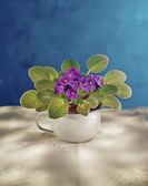 African Violet — Stock Photo