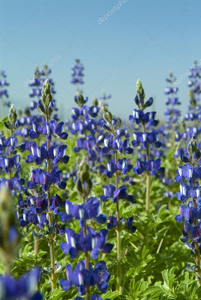 Lupines field on the Golan Height slopes — Stock Photo #1340829