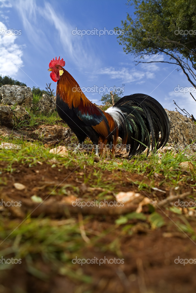 Free range rooster in a field with blue sky  Stock Photo #1341647