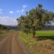 Winding dirt road and olive tree — Stock Photo