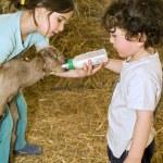 Boy and girl feeding bay goat — Stock Photo