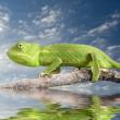 Chameleon — Stock Photo #1412682