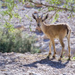 Nubian ibex capra - Stock Photo