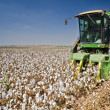Cotton harvest - Stock Photo