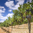 Vineyards in Galilee — Stock Photo #1414015