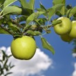 Green apple on branch - Stock Photo