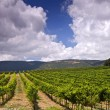 Vineyards in Galilee — Stock Photo #1414247