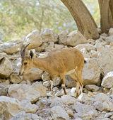Nubian ibex capra — Stock Photo