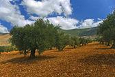 Olive grove — Stock Photo
