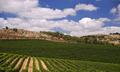 Vineyards in the Galilee — Stock Photo