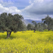 Olive grove — Stock Photo #2216466