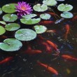 Koi fish — Stock Photo #2218561