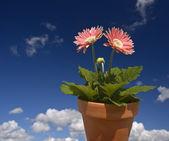 Růžová gerbera modrá obloha — Stock fotografie