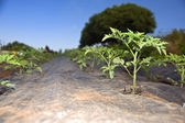 Tomatoes seedlings — Stock Photo