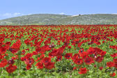 Red flower field — Stock Photo