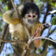 Stock Photo: Squirrel monkey