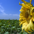 Sunflower and bee — Stock Photo #2232027