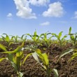 Young corn plants field - Stock Photo