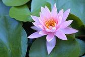 водяная лилия — Стоковое фото