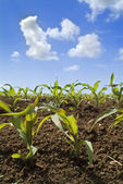 Young corn plants field — Stock Photo