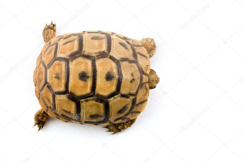 从孤立的白色海龟宝宝– 图库图片
