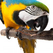 Stock Photo: Parrot - Macaw