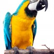 Parrot - Macaw — Stock Photo