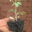 Planting a seedling — Photo
