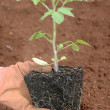 Planting a seedling - Stock Photo