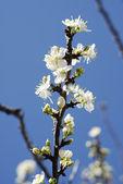 Blossom — Stock Photo