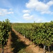 Stock Photo: Vineyard in summertime during daytime
